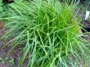Carex gray