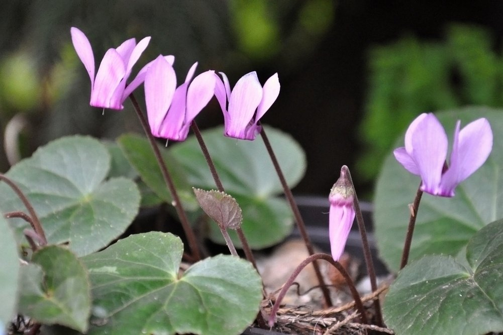 36k_Cyclamen purpurascens Plain leaf.JPG