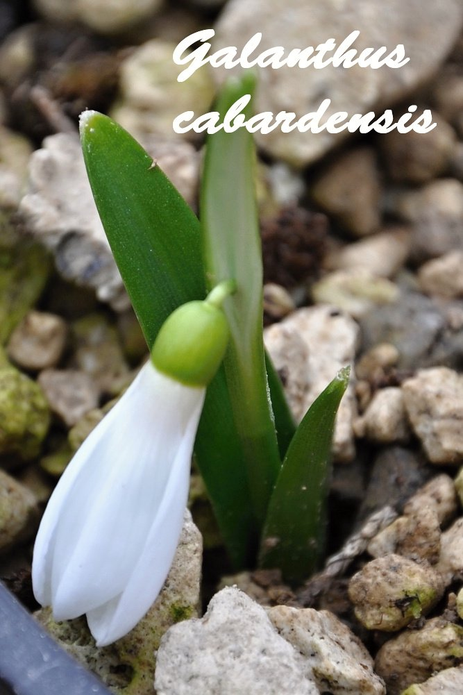 Galanthus cabardensis