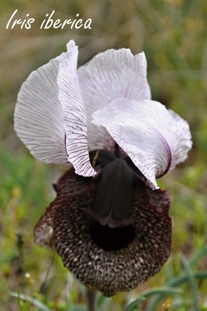 Iris iberica from Armenian mountains...