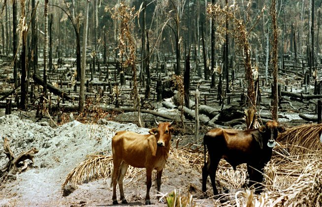 cattle_forest_q_1.jpg