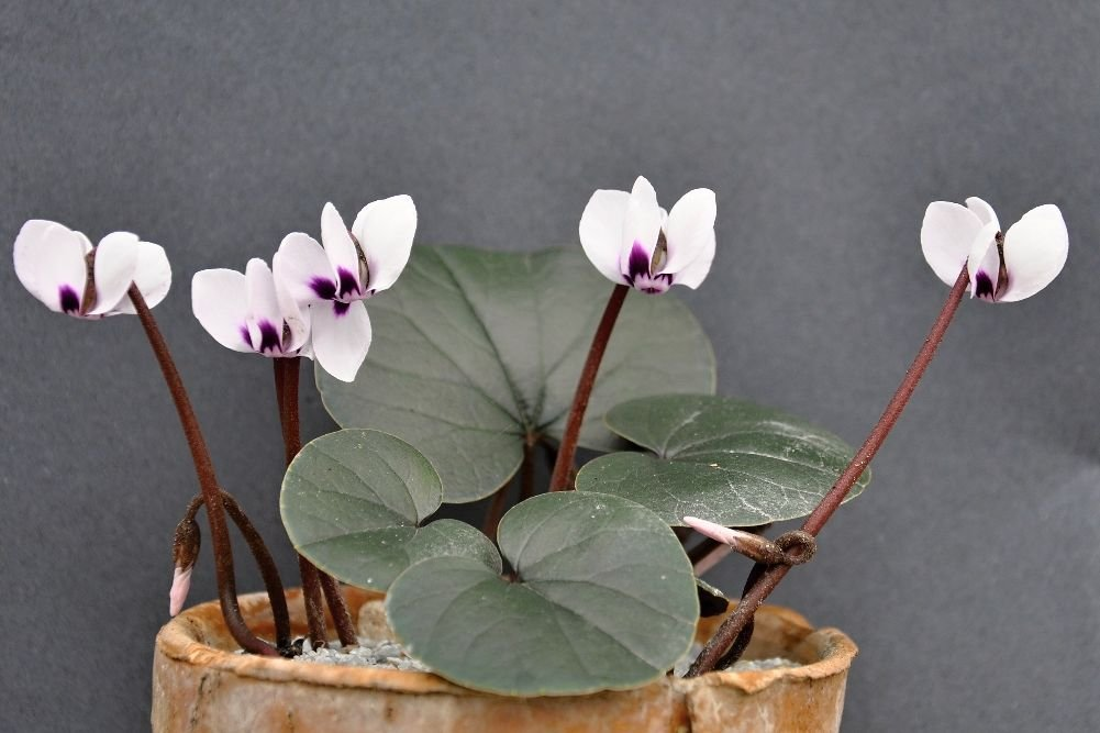 Cyclamen coum plain leaves, white flowers wirh dark red nose