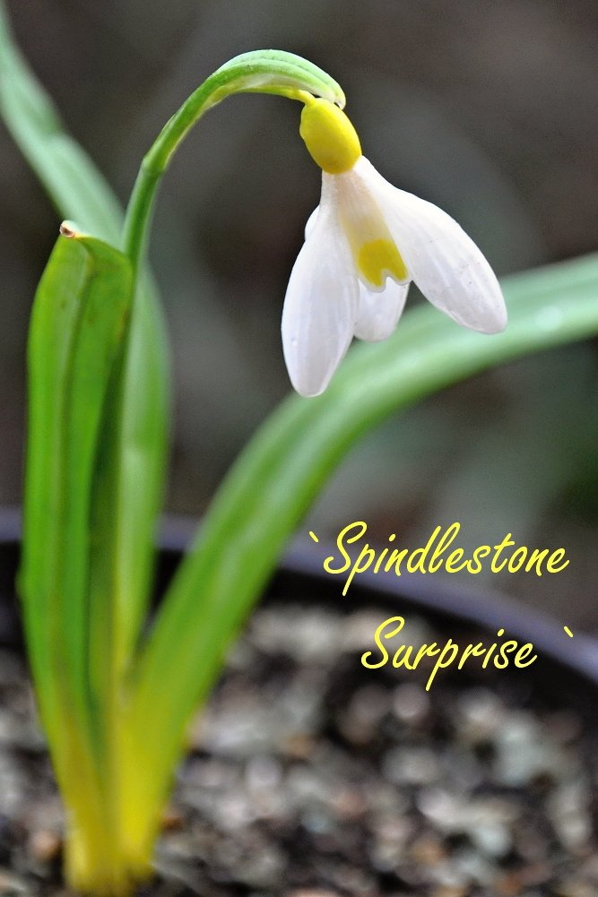 `Spindlestone Surprise`